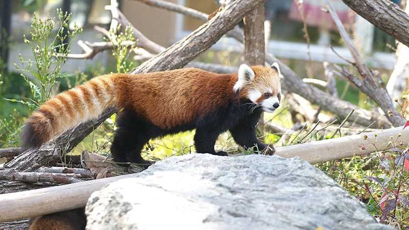 札幌円山動物園 レッサーパンダ